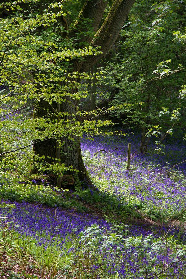 Bowden Woods, West Berkshire, England Bluebell Glitter by parallel-pam