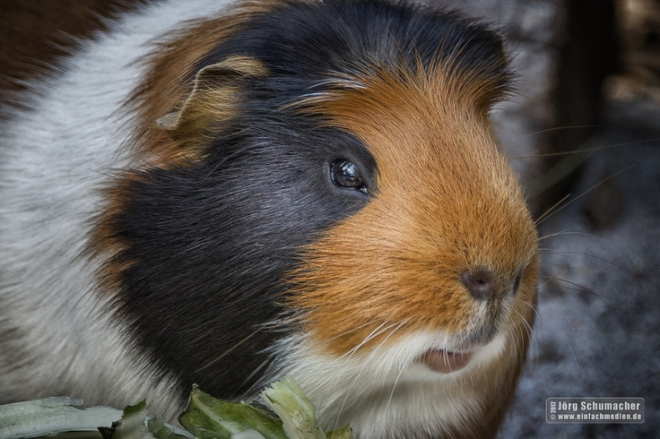 Meerschweinchen   guinea pig   sieht aus wie mein alter Wusel