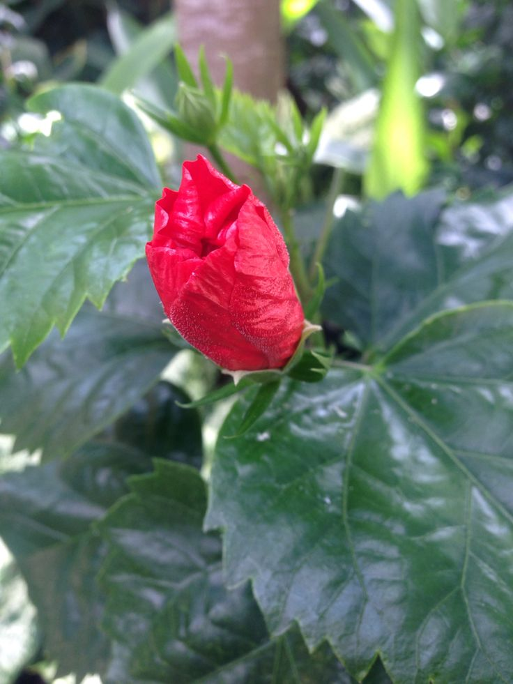 Flower in Indonesia called Kembang Sepatu, what its call in yours country??
