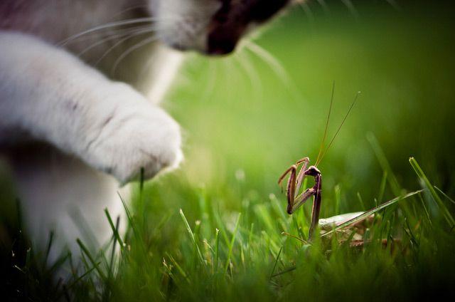 Cat Vs. MantisFace Off, Funny Kitty, High Five, Cat, Brooks Pennington, Faceoff, Furries Friends, Praying Mantis, Animal