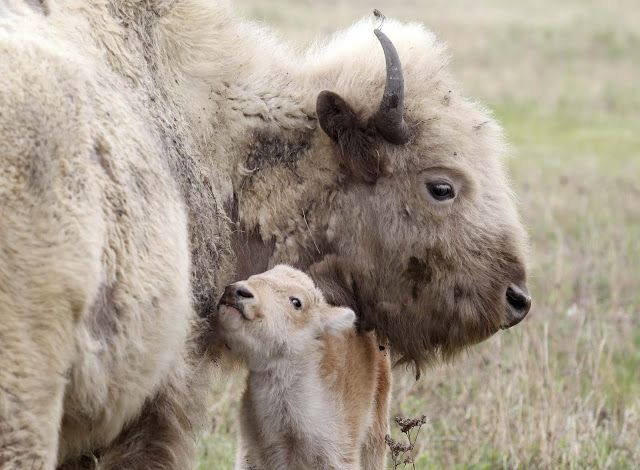 White Wolf : A Rare White Bison Was Born Into A Herd Belonging To The Sioux Valley Dakota Nation