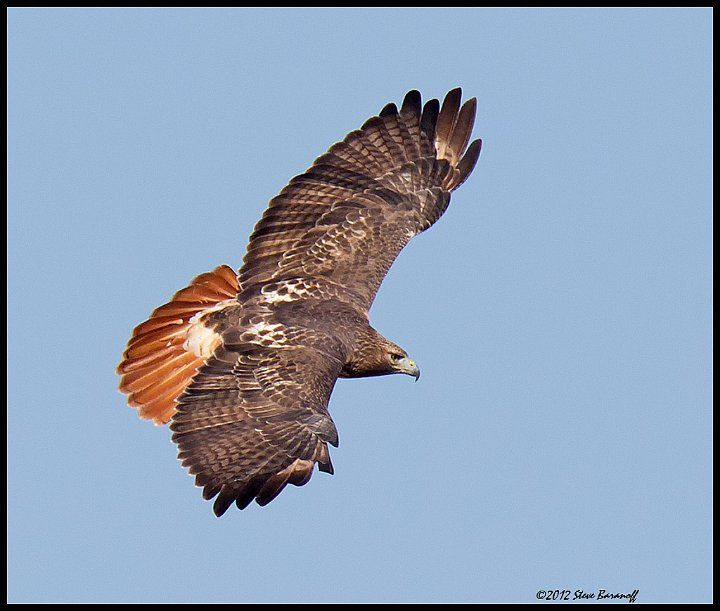 Best 25 hawk pictures ideas on pinterest french braid - Red tailed hawk wallpaper ...