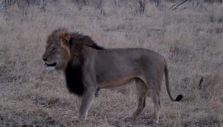 África: Autoridades buscan a español que mató a Cecil, león símbolo de Zimbabue