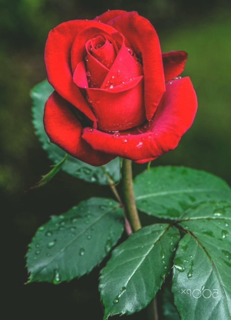 Pin By Sneha Deshmukh On Birthday Wishes Red Rose Flower Rose Flower Wallpaper Red Roses Wallpaper