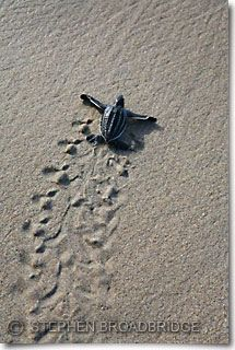11 best painting ideas katie images on pinterest turtles sea turtle tracks beach sand baby sea turtle making tracks to the sea publicscrutiny Gallery