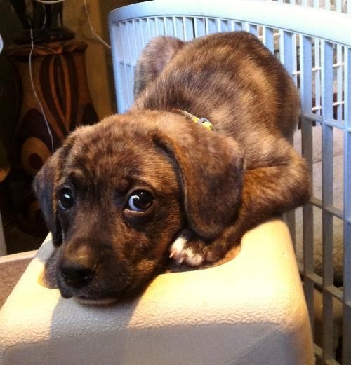 Mountain Cur / Mixed (short coat) Looks just like my baby ...