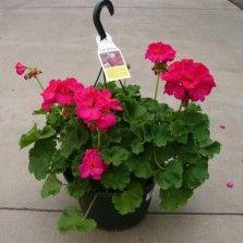Tanaman Geranium Pink (Pink Pelargonium)