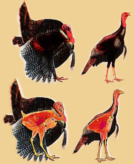 Turkey Vitals are lower an interview n friends bt of where you'd expect. I come up the leg, a little in front and keep the shot low. In strut I'll place shot a little lower than center of mass.