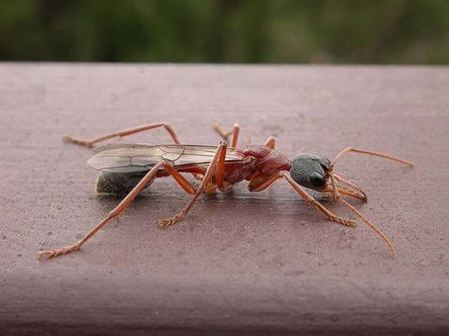Class:	Insecta Order:	Hymenoptera Family:	Formicidae Genus:	Myrmecia Species:	nigriceps Common Name:	Bulldog Ant