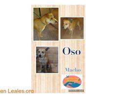 GRAN CANARIA - Maspalomas Animal Rescue ℹ   Oso fue encontrado en Agadir es un perro cariñoso y acostumbrado a estar con personas. No tiene microchip y buscamos a su familia porque parece estar bien cuidado. Si compartimos todos ayudamos .  En todos los navegadores: Leales.org y en todas las redes sociales: @lealesorg  #Perdido #Encontrado  Contacto y Info: Pulsar la foto o aquí: https://leales.org/perdidos-o-encontrados/perros-encontrados_1/gran-canaria-maspalomas-animal-rescue_i3883…