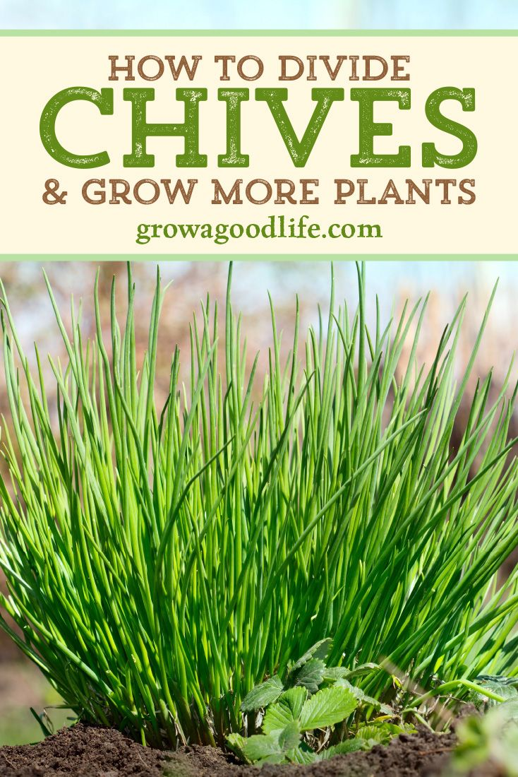 Grow Herbs Indoors Potting Up Chives Planting Herbs Perennial Herbs Chives Plant