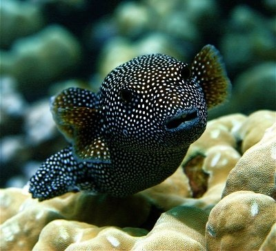 Guineafowl Pufferfish  I want one in my fish bowl !!!! SO CUTE