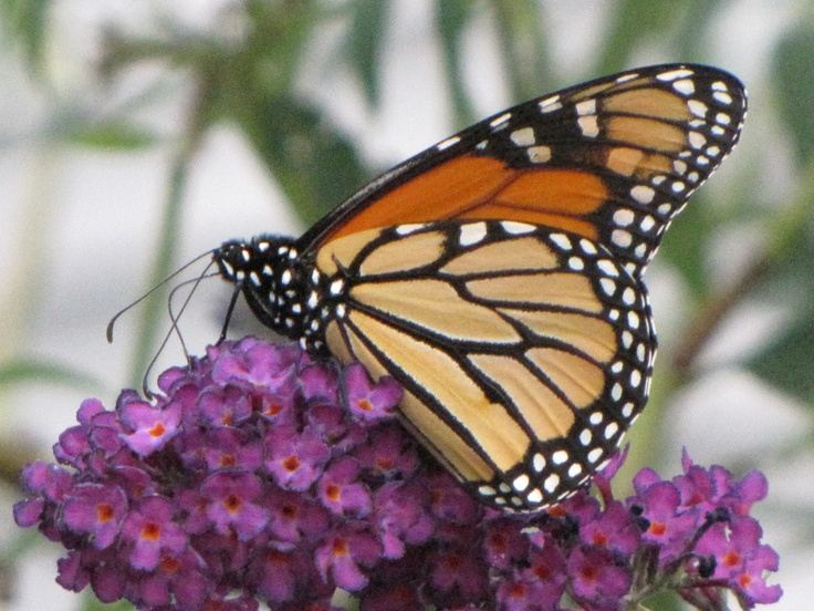120 besten Monarch Butterfly Bilder auf Pinterest ...
