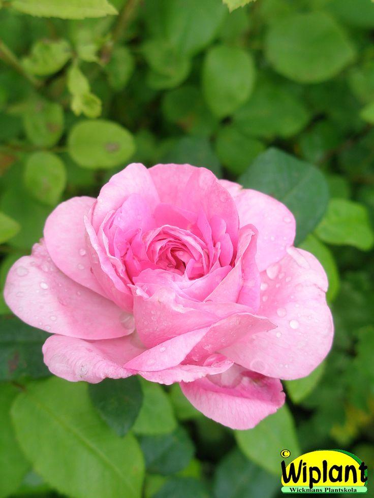 Rosa Tunnelitie, Ros. Finsk roskorsning som blommar i juli med mörkrosa rosor.  Höjd 0,5-0,8 m.  Zon I-II.