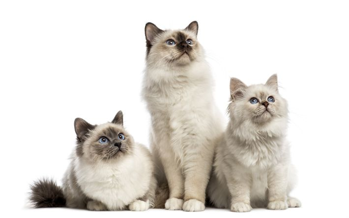 Download wallpapers Birman Cats, 4k, trio, kittens, pets, cats, fluffy cats, Birman