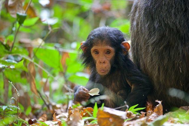 Bebek Şempanze