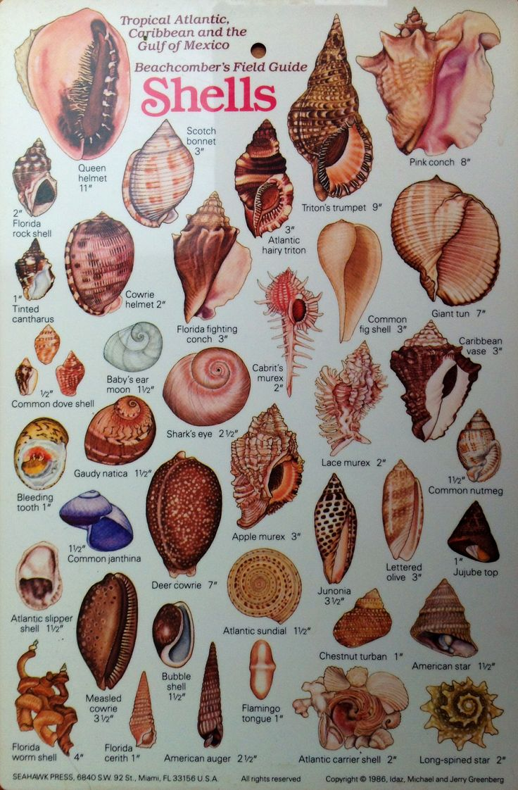 Tropical Atlantic, Caribbean and the Gulf of Mexico. Beachcomber's field guide, Shells II