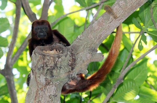 Mono Aullador Valledupar Colombia