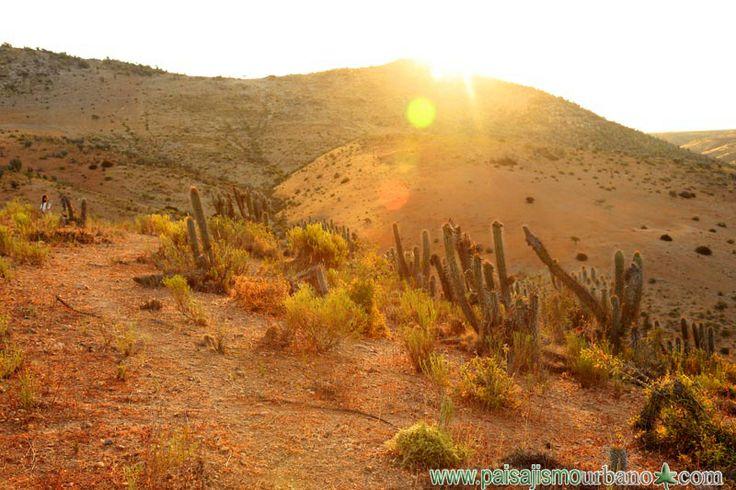 paisaje desertico con Echinopsis chiloensis — en Chile, La Serena.