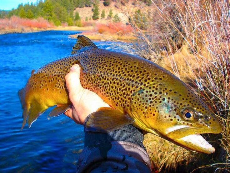 Nick Holman's nice brown trout on the fly.