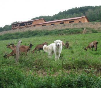 chevrerie lot et garonne | La ferme de Milles, les chèvres et le patou./Photo DDM.