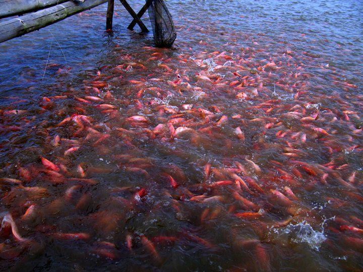 Budidaya Ikan Nila Merah Kolam Terpal