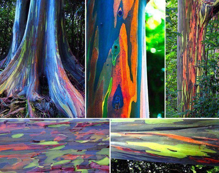 """DE TODO UN POCO: EL CURIOSO ÁRBOL DE LOS MIL COLORES """"eucalyptus deglupta"""" :)"""