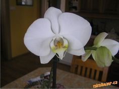orchidej - Phalaenopsis - pěstování