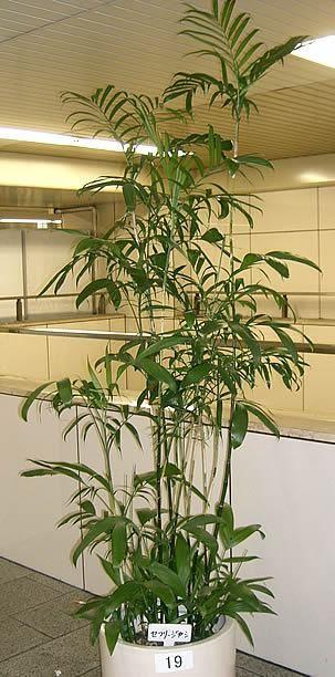 Chamaedorea seifrizii, Palmeira-bambu, Palma-bambu, Palmeira-seifriz-de-bambu, Palmeira-seifriz, Palmeirinha-bambú