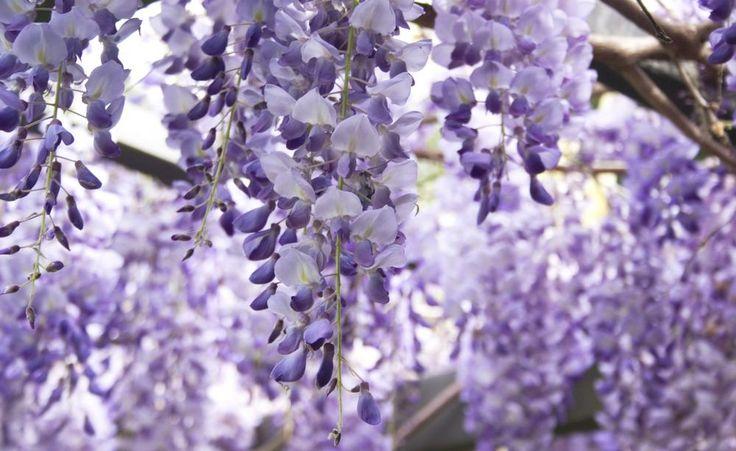 Blauregen richtig schneiden -  Der Blauregen (Wisteria) hat mit seinem unbändigen Wuchs schon so manchen Hobbygärtner überfordert. Um ihn im Zaum zu halten, müssen Sie zweimal im Jahr zur Gartenschere greifen – aber seine prächtige Blüte ist den Aufwand wert.