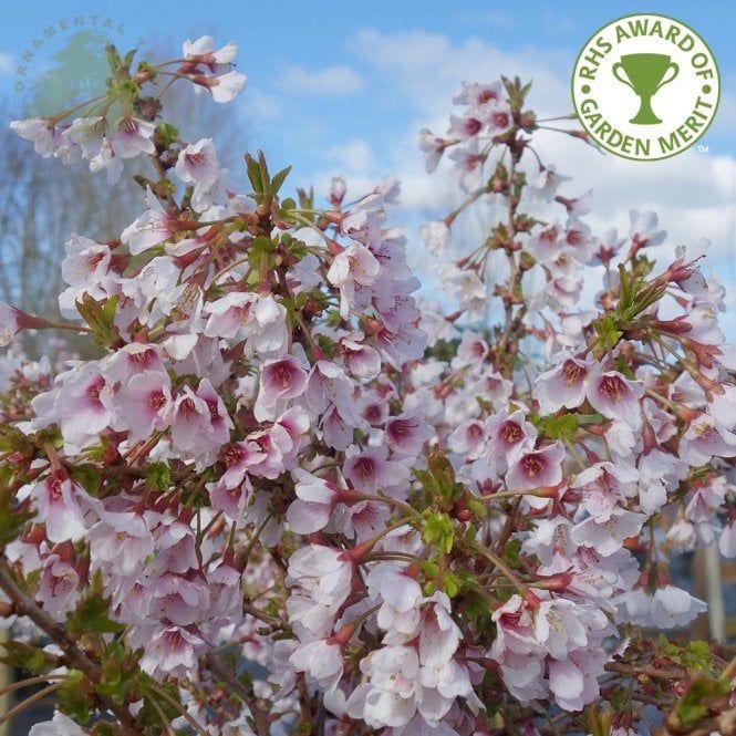 Prunus Incisa Kojo No Mai Tree Flowering Cherry Tree Small Trees Tree Identification
