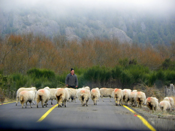 Sheep herding on the road between Futaleufu and the Argentine border by Pachi Latorre | from Pinterest http://www.pinterest.com/pin/4925880814823106/