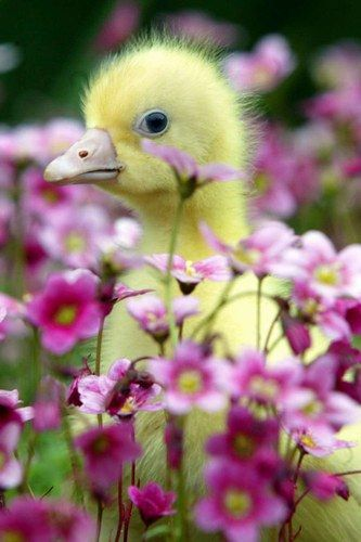 duckling. In the flower garden