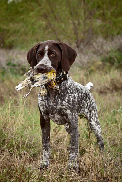 Lola, the German Shorthaired Pointer, with Meadowlark in mouth.
