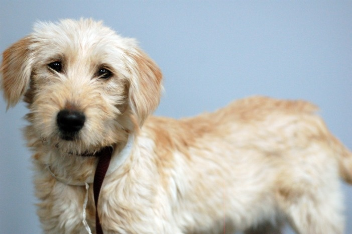9 best Soft Coated Wheaten Terrier images on Pinterest ...