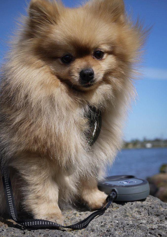 25+ best ideas about Cute pomeranian on Pinterest | Teacup ...