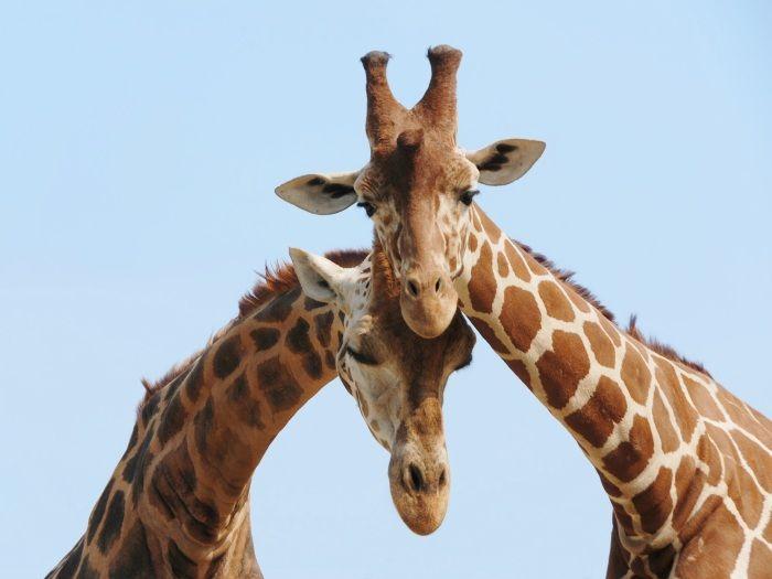 ♥ Descubra curiosidades sobre casais do mundo animal ♥ http://r7.com/Bm62