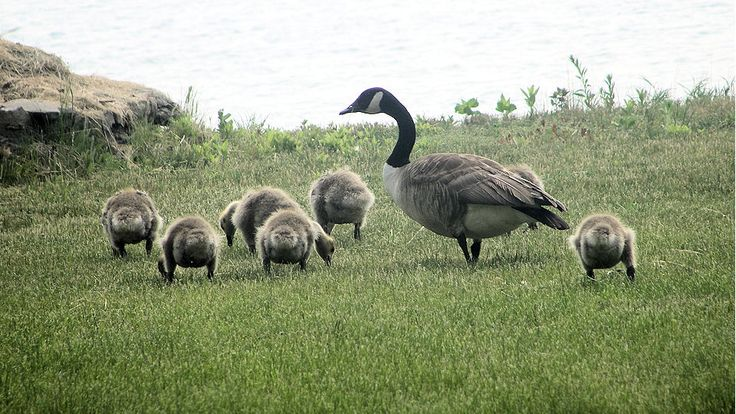 Goslings at the lake shore