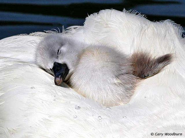 mute swan cygnet (photo by gary woodburn)