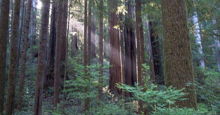 Como cultivo mudas de sequoias?. As sequoias são árvores coníferas que pertencem à família dos ciprestes. Existem três espécies: a sequoia gigante (Sequoiadendron giganteum), a sequoia-costeira (Sequoia sempervirens) e a metassequoia (Metasequoia glyptostroboides). Entretanto, o termo sequoia refere, geralmente, à sequoia-costeira, uma das árvores mais altas do mundo e nativa da ...