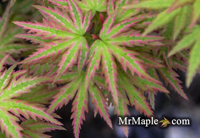 Think of a tightly layered Japanese maple with shingle ...