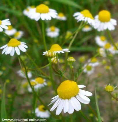 17 best images about plantas medicinales on pinterest for Manzanilla planta medicinal para que sirve