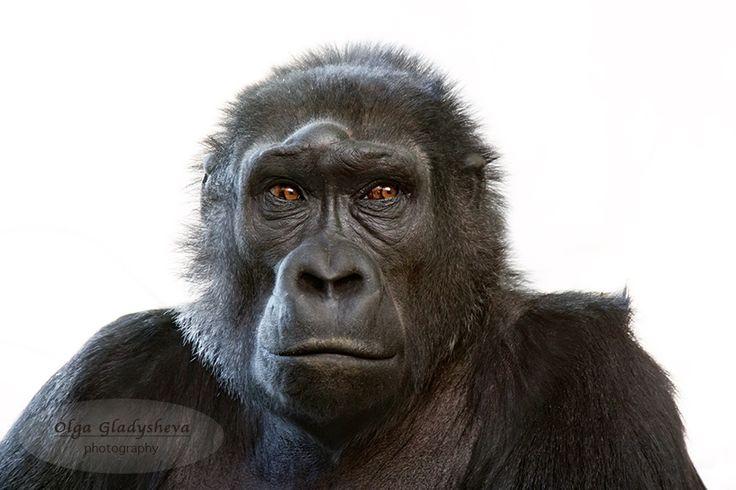 Face of an adult female gorilla by Olga Gladysheva