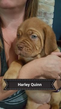 Litter of 9 Dogue de Bordeaux puppies for sale in ARLINGTON, TX. ADN-38678 on PuppyFinder.com Gender: Female. Age: 10 Weeks Old