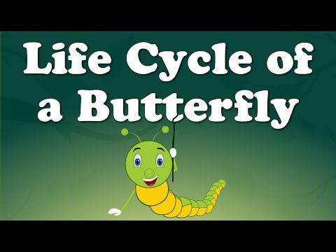 Life Cycle of a Butterfly - YouTube