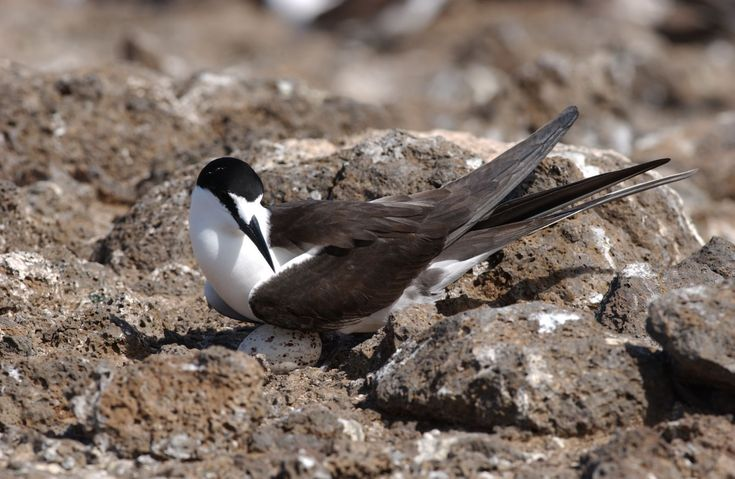 You might know the Sooty Tern by one of its other names, like Common Tern, Whale Bird, Wideawake Tern of Kaveka. At Oceanwide Expeditions we know this beautiful bird as Sooty Tern. They live near tropical oceans worldwide.