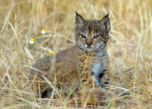 Iberian Lynx - Endangered species - Lince ibérico - Especie en peligro de extinción