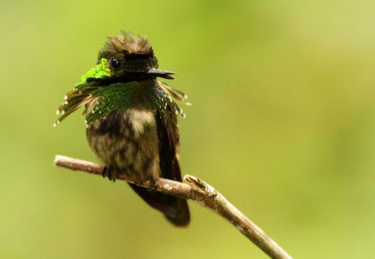 https://flic.kr/p/bf5gZv | topetinho-verde (Lophornis chalybeus) macho | Ubatuba - SP (Sítio Folha Seca)