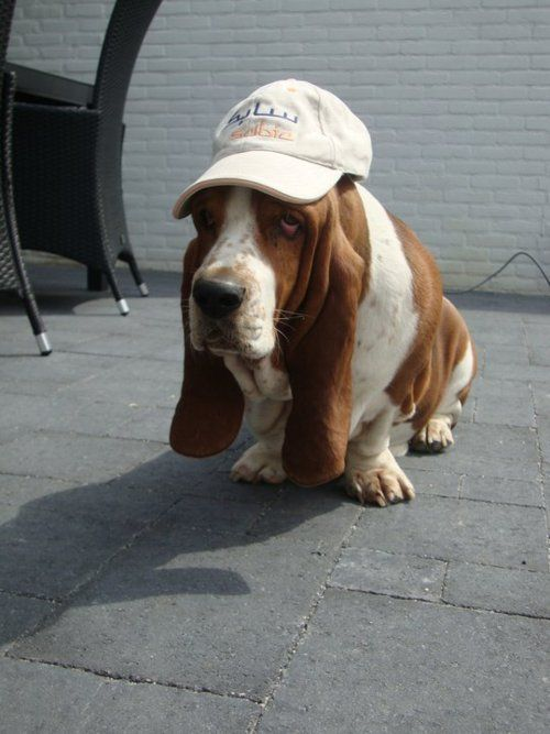 A basset hound with a hat!