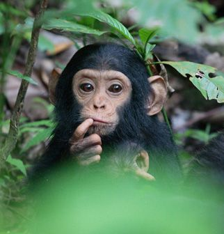 Look after baby chimps :-)